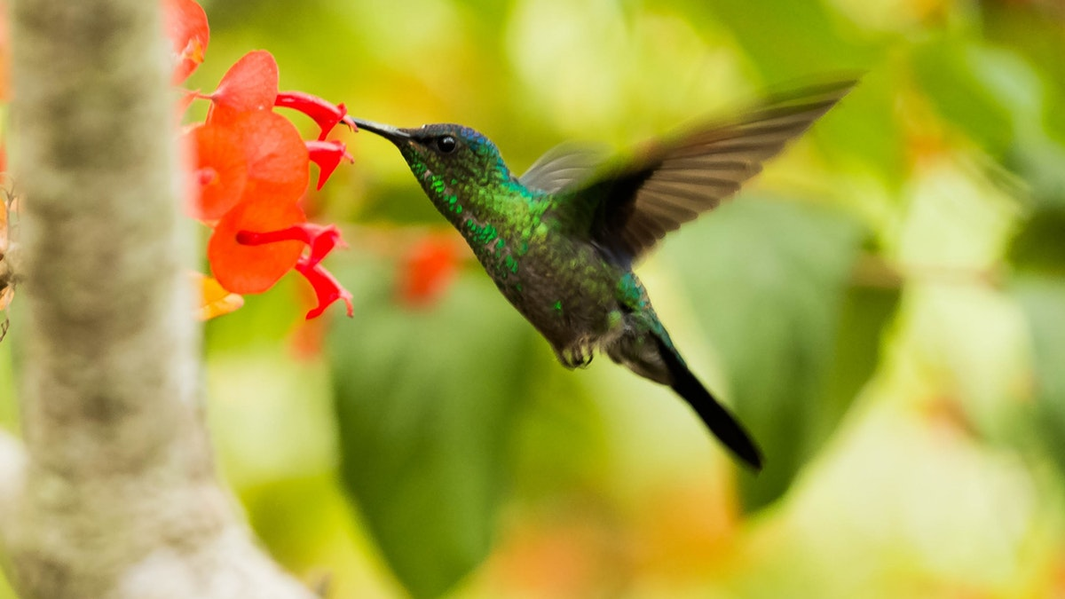 green-and-black-hummingbird-705314 (1)