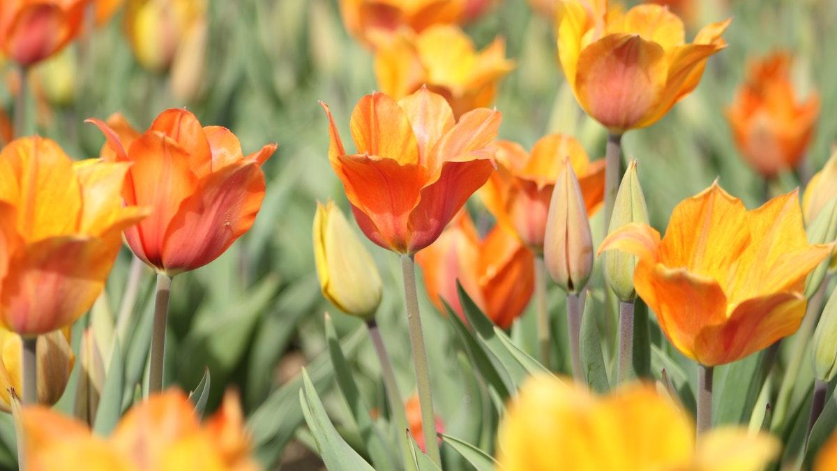 orange-tulip-field-948615